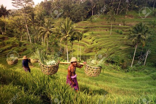 29310219-Asia-Southeast-Indonesia-Bali-Island-Central-Bali-Tegalalang-rice-terraces-work-work-economy-agricul-Stock-Photo