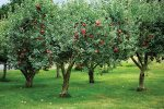 heirloom-orchard-apple-trees