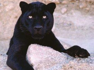 black-leopard_1024